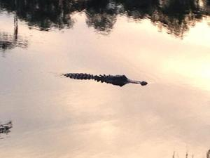 300x225 Gator at put in, in Banks Lake Full Moon, by John S. Quarterman, 13 June 2014