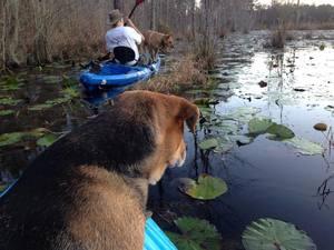 Brown Dog watching Yellow Dog