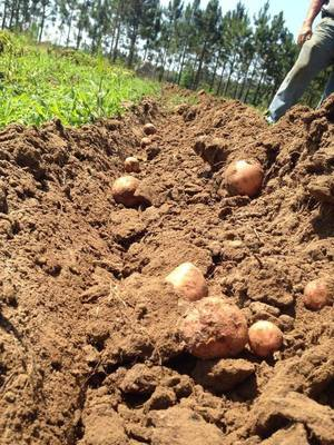 Taters plowed