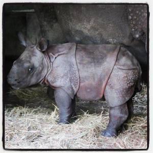 Ask Rick Frey why a rhinoceros